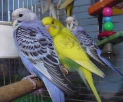Papugi Faliste, zeberki ,nimfy