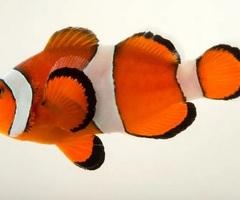 Amphiprion Ocellaris, Błazenek, Nemo do akwarium morskiego