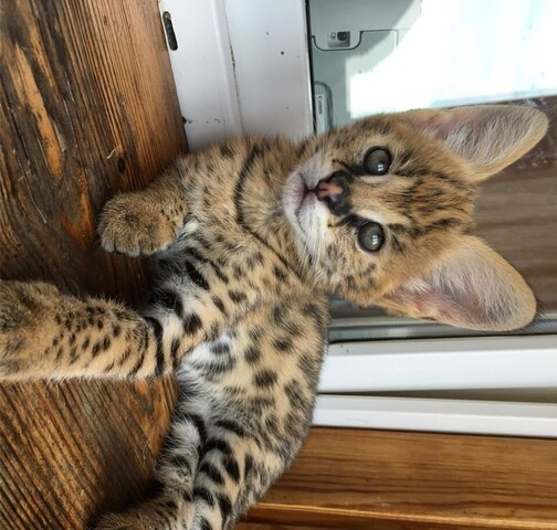 Dostępne kocięta Savannah i serval caracal oraz Ocelot - 1/3
