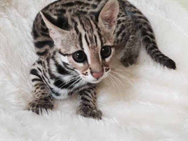 Dostępne kocięta Savannah i serval caracal oraz Ocelot - 3/3