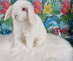 Mini Lop śliczne króliczki zapraszam do rezerwacji