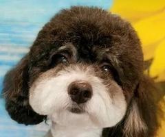 Psi fryzjer, strzyżenie psów i kotów, groomer SmartPet